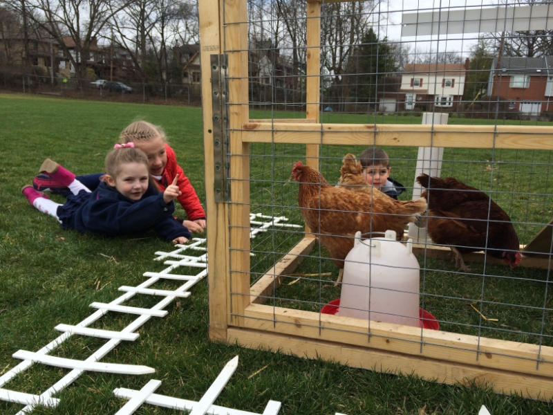 Junior School Chickens